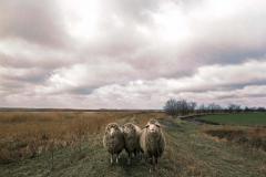 SL 007_Schafe auf dem Deich_Darß_1982